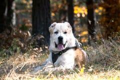 Άσπρο σκυλί alabai Στοκ εικόνα με δικαίωμα ελεύθερης χρήσης