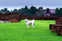 Άσπρο σκυλί greensward Στοκ Φωτογραφία