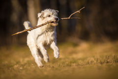 Άσπρο σκυλί schnauzer στοκ φωτογραφία με δικαίωμα ελεύθερης χρήσης