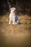 Άσπρο σκυλί schnauzer στοκ φωτογραφία