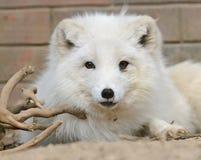 Άσπρο στενό επάνω πορτρέτο αρκτικών αλεπούδων Στοκ Φωτογραφία