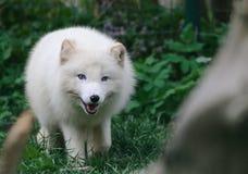 Άσπρο στενό επάνω πορτρέτο αρκτικών αλεπούδων Στοκ εικόνες με δικαίωμα ελεύθερης χρήσης