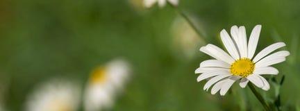 Άσπρο στενό επάνω υπόβαθρο λουλουδιών μαργαριτών στοκ φωτογραφία με δικαίωμα ελεύθερης χρήσης