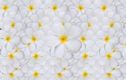 Άσπρο σχέδιο λουλουδιών Plumeria ή Frangipani backgroun Στοκ φωτογραφία με δικαίωμα ελεύθερης χρήσης