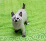 Άσπρο ταϊλανδικό γατάκι σε μια πράσινη πετσέτα Στοκ Φωτογραφία