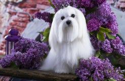 Άσπρο της Μάλτα σκυλί στοκ εικόνες