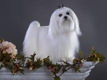 Άσπρο της Μάλτα σκυλί στοκ φωτογραφία