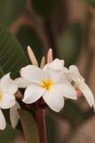 Άσπρο της Χαβάης υβρίδιο plumeria Στοκ Φωτογραφίες