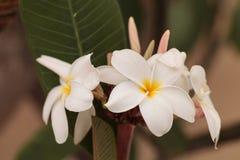 Άσπρο της Χαβάης υβρίδιο plumeria Στοκ εικόνα με δικαίωμα ελεύθερης χρήσης