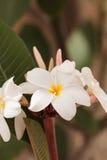 Άσπρο της Χαβάης υβρίδιο plumeria Στοκ Εικόνα