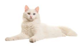 Άσπρο τουρκικό ξάπλωμα γατών ματιών ανκορά περίεργο που βλέπει από την πλευρά που εξετάζει τη κάμερα Στοκ εικόνα με δικαίωμα ελεύθερης χρήσης