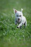 Άσπρο τρέξιμο σκυλιών Στοκ φωτογραφία με δικαίωμα ελεύθερης χρήσης