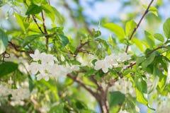 Άσπρο τροπικό ασιατικό λουλούδι Wrightia Religiosa Benth Στοκ Φωτογραφία