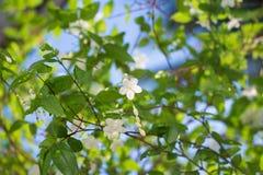 Άσπρο τροπικό ασιατικό Wrightia Religiosa Benth Στοκ Φωτογραφία