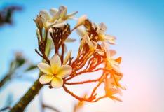 Άσπρο τροπικό λουλούδι frangipani, άνθιση λουλουδιών plumeria Στοκ φωτογραφία με δικαίωμα ελεύθερης χρήσης