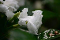 Άσπρο τροπικό λουλούδι Στοκ Φωτογραφίες