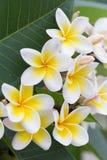 Άσπρο τροπικό λουλούδι frangipani, άνθιση λουλουδιών plumeria Στοκ Εικόνες