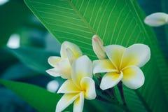 Άσπρο τροπικό λουλούδι frangipani, άνθιση λουλουδιών plumeria Στοκ Φωτογραφίες