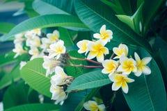 Άσπρο τροπικό λουλούδι frangipani, άνθιση λουλουδιών plumeria Στοκ Εικόνα