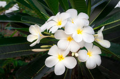 Άσπρο τροπικό λουλούδι frangipani, λουλούδι plumeria που ανθίζει στο δέντρο, λουλούδι SPA, Leelawadee Στοκ Φωτογραφία
