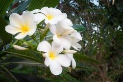 Άσπρο τροπικό λουλούδι frangipani, λουλούδι plumeria που ανθίζει στο δέντρο, λουλούδι SPA, Leelawadee Στοκ Εικόνες