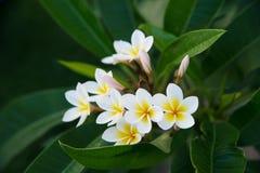 Άσπρο τροπικό λουλούδι frangipani, λουλούδι plumeria που ανθίζει στο δέντρο Στοκ Φωτογραφία