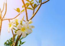Άσπρο τροπικό λουλούδι frangipani, λουλούδι plumeria που ανθίζει στο δέντρο Στοκ εικόνες με δικαίωμα ελεύθερης χρήσης