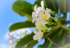 Άσπρο τροπικό λουλούδι frangipani, λουλούδι plumeria που ανθίζει στο δέντρο Στοκ φωτογραφία με δικαίωμα ελεύθερης χρήσης