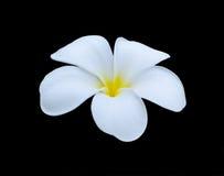Άσπρο τροπικό λουλούδι frangipani, λουλούδι plumeria που ανθίζει στο BL Στοκ Φωτογραφίες