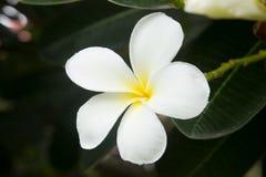 Άσπρο τροπικό λουλούδι frangipani, λουλούδι plumeria που ανθίζει στο TR Στοκ Φωτογραφίες