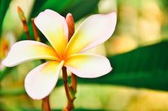 Άσπρο τροπικό λουλούδι frangipani, λουλούδι plumeria που ανθίζει στο TR Στοκ Εικόνα