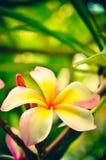 Άσπρο τροπικό λουλούδι frangipani, λουλούδι plumeria που ανθίζει στο TR Στοκ φωτογραφίες με δικαίωμα ελεύθερης χρήσης