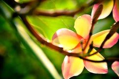 Άσπρο τροπικό λουλούδι frangipani, λουλούδι plumeria που ανθίζει στο TR Στοκ Εικόνες
