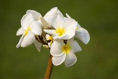 Άσπρο τροπικό λουλούδι Frangipani, λουλούδι Plumeria Στοκ Εικόνες