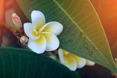 Άσπρο τροπικό λουλούδι frangipani, φρέσκια άνθιση λουλουδιών plumeria Στοκ Εικόνα
