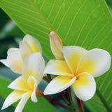Άσπρο τροπικό λουλούδι frangipani, φρέσκια άνθιση λουλουδιών plumeria Στοκ Εικόνες