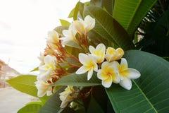 Άσπρο τροπικό λουλούδι frangipani, φρέσκια άνθιση λουλουδιών plumeria Στοκ Φωτογραφία