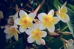 Άσπρο τροπικό λουλούδι frangipani, φρέσκια άνθιση λουλουδιών plumeria Στοκ Φωτογραφίες