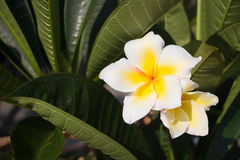 Άσπρο τροπικό λουλούδι Plumeria Στοκ Εικόνες