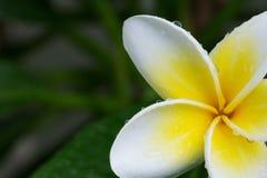 Άσπρο τροπικό λουλούδι plumeria frangipani με τις πτώσεις νερού Στοκ Φωτογραφίες