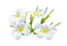 Άσπρο τροπικό λουλούδι plumeria frangipani που απομονώνεται στο λευκό Στοκ φωτογραφία με δικαίωμα ελεύθερης χρήσης