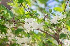 Άσπρο τροπικό λουλούδι Wrightia Religiosa Benth Στοκ Φωτογραφίες