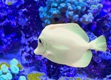 Άσπρο τροπικό ψάρι που κολυμπά Στοκ Φωτογραφίες
