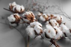 Άσπρο υπόβαθρο με τον κλάδο του βαμβακόφυτου Στοκ Φωτογραφία