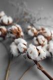 Άσπρο υπόβαθρο με τον κλάδο του βαμβακόφυτου Στοκ Φωτογραφίες