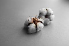 Άσπρο υπόβαθρο με τον κλάδο του βαμβακόφυτου Στοκ Εικόνες