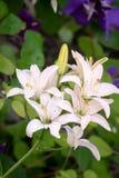 Άσπρο υπόβαθρο λουλουδιών κρίνων Στοκ Φωτογραφία
