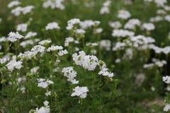 Άσπρο υπόβαθρο λουλουδιών Blury Στοκ Εικόνες