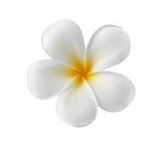Άσπρο υπόβαθρο λουλουδιών Frangipani Στοκ φωτογραφία με δικαίωμα ελεύθερης χρήσης
