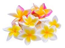 Άσπρο υπόβαθρο λουλουδιών Frangipani Στοκ Εικόνες